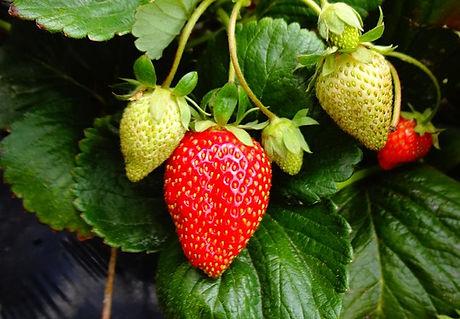 strawberry-plant.jpg