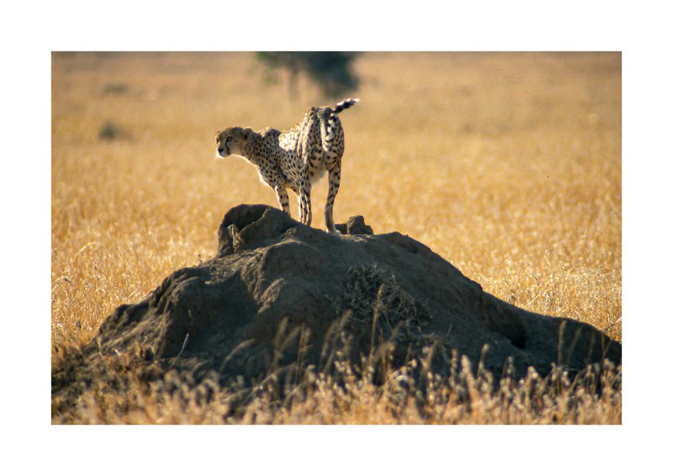 cheetahh.jpg
