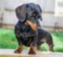 dachshund puppy smooth haired bitch nelly