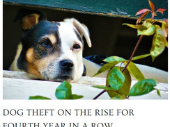 Dog Theft Is Still On The Rise