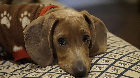 dachshund puppy health advice