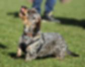 dachshund human communication trust devotion love