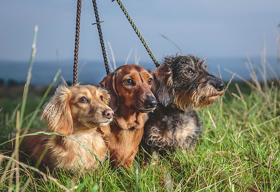 dachshun owners longhaired smooth haired and wirehaired dachshunds