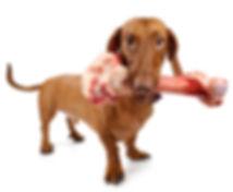 dachshund dog with huge bone raw diet
