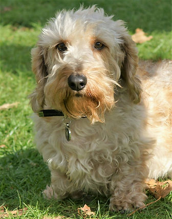 dachshund adult wirehaired dog blonde lewis