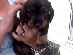 The day we fell in love with Dachshunds