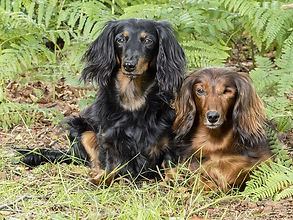 dachshund owners longhaired dachshunds