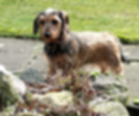 dachshund owners wirehaired dachshund