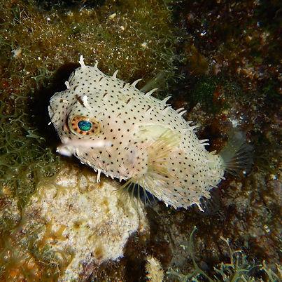 porcupinefish.jpeg