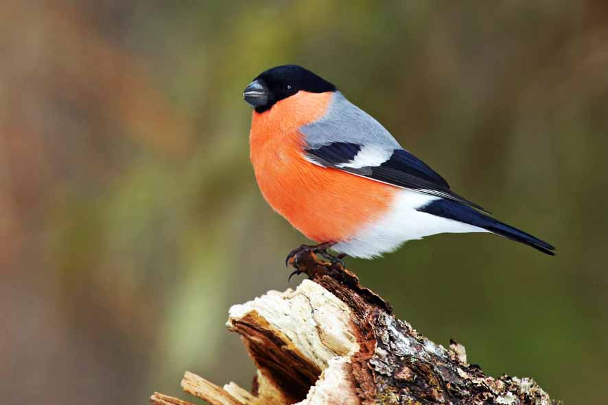 Habitat-types rather than wildlife species are used to calculate biodiversity units; species such as bullfinch (pictured) are likely to benefit from habitat creation.