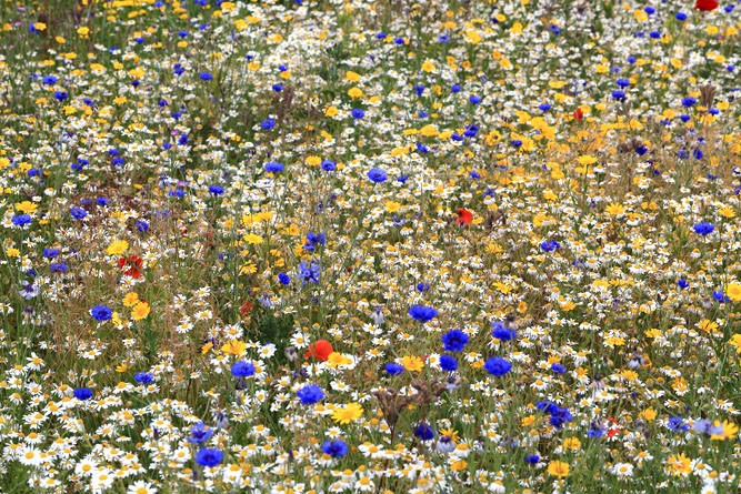 Wildflower Grassland  - Wildflower grassland is easy to create and can provide wildlife-rich habitat within urban development in a short-time