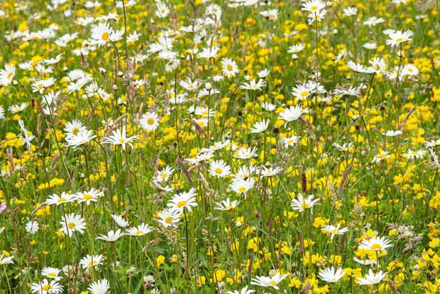 Wildflower meadow is a wildlife habitat that is relatively technically straightforward to create with low maintenance costs. It provides a good potential source of biodiversity units.