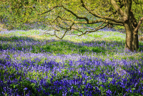 Bluebell wood - Greenspaces and nature can bring health benefits