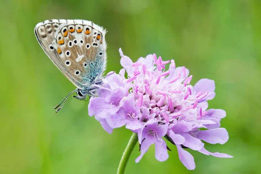 Invertebrates including the common blue (pictured) are likely to benefit from provision of wildflower meadow.