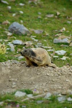 Marmotte dans le massif des Ecrins