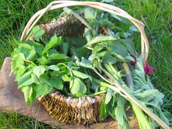 Plantes comestibles et panier en vannerie sauvages