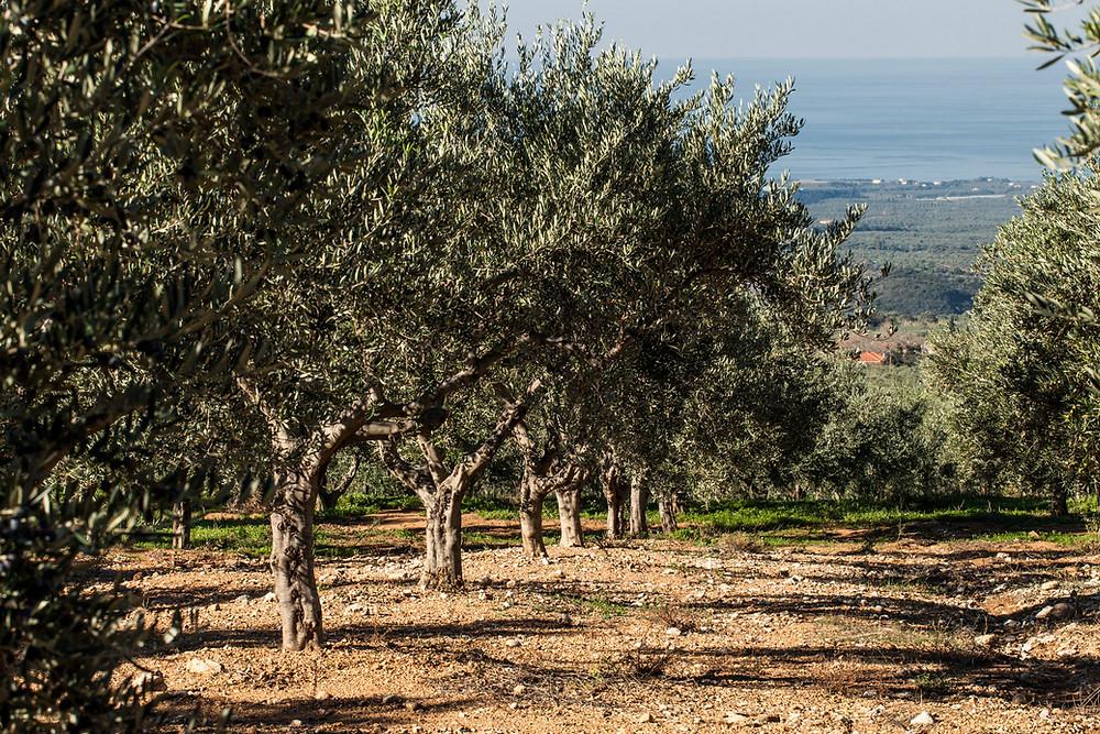 Olive Grove Greece