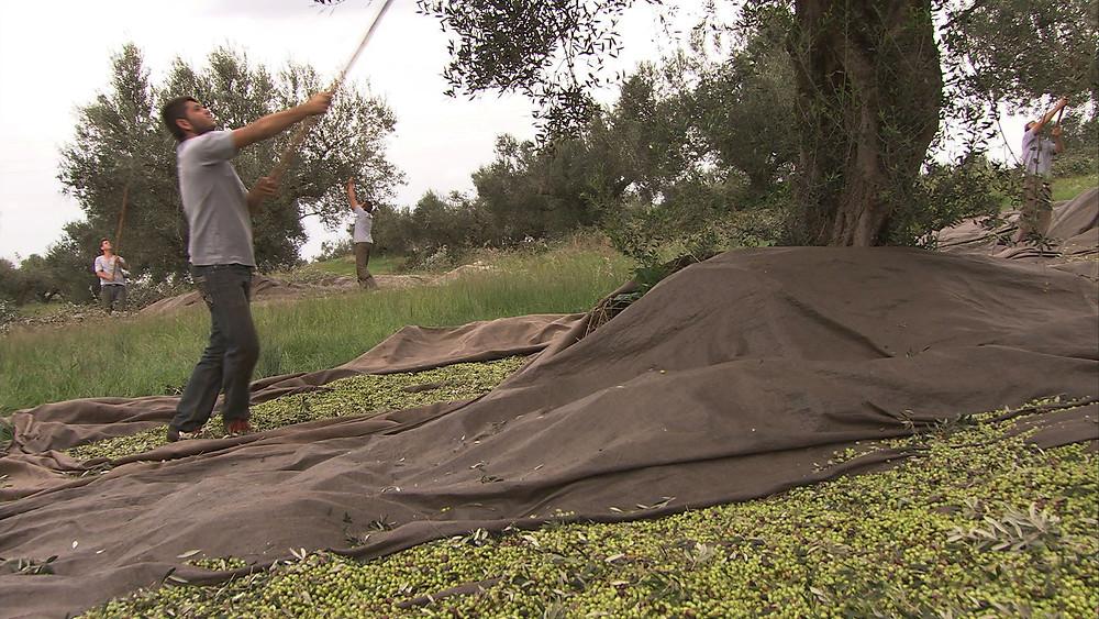Eléia Olive Oil