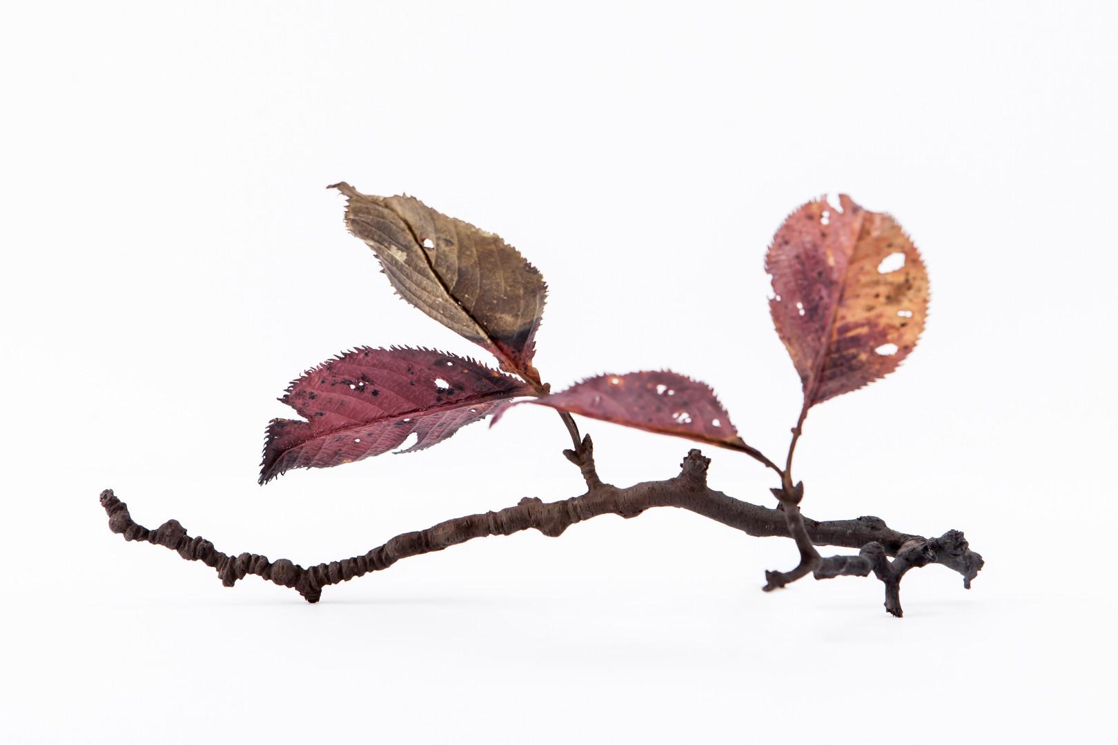 Cherry red leaf