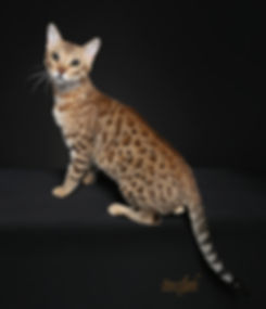 REGIONAL WINNDER QUAD GRAND CHAMPIN GURU RIALTO OF TIKKA SKY, BROWN SPOTTED BENGAL
