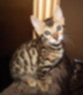 Tikka Sky Bengal kitten