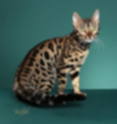 CH SIMPLY IRRISISTABLE, BROWN SPOTTED BENGAL