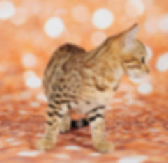 TRIPLE GRAND CHAMPIN GURU RIALTO OF TIKKA SKY, BROWN SPOTTED BENGAL