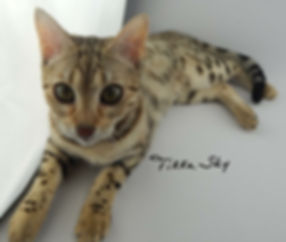 TIKKA SKY LOVE GROWS HERE, BROWN SPOTTED BENGAL