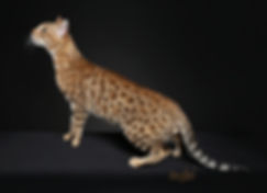RW QUAD GRAND CHAMPIN GURU RIALTO OF TIKKA SKY, BROWN SPOTTED BENGAL