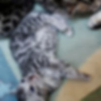Available Bengal Kitten