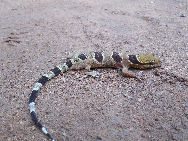 Ituri Forest Gecko