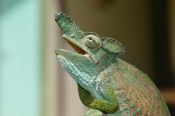 Strange-nosed Chameleon