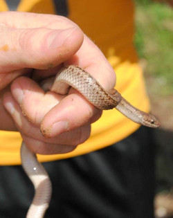 Three-scaled Ground Snake