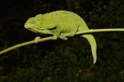 Side-striped Chameleon