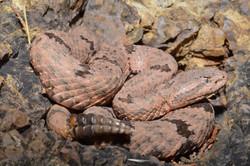 Mottled Rock Rattlesnake