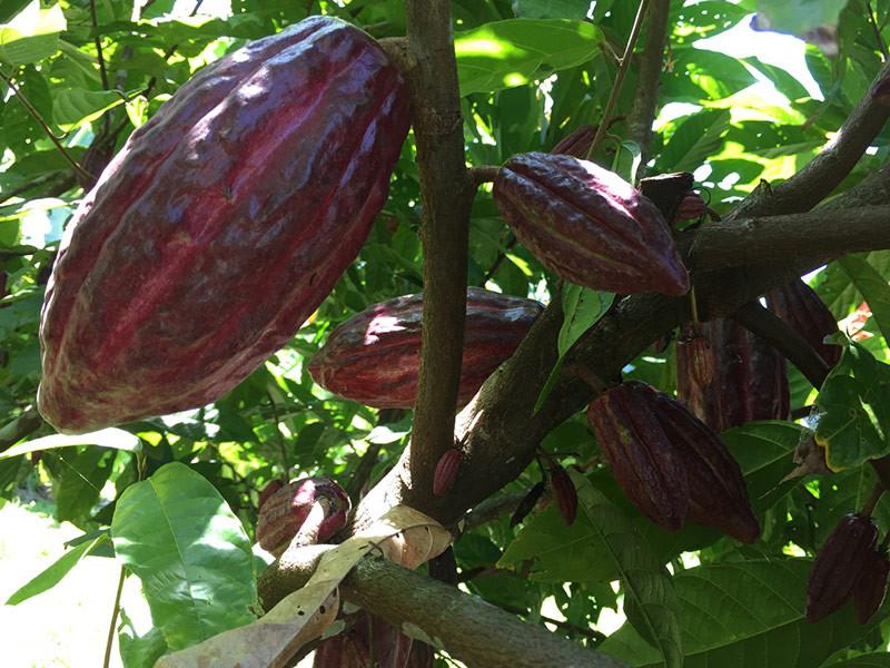 cacao tree.jpg