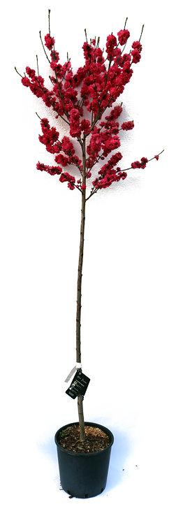 Pfirsichbaum Taoflora Red