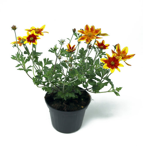Bidens Spicy Fire Topf 10