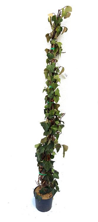 Efeu Kletterpflanze Topf 18