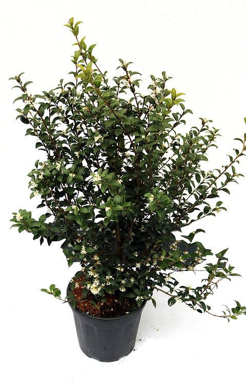 Duftblüte Osmanthus