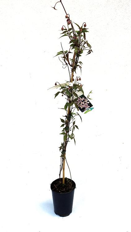 Clematis montana Kletterpflanze