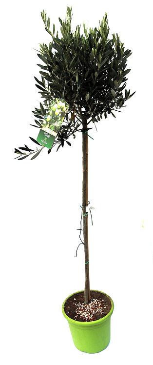 Olivenbaum 130cm