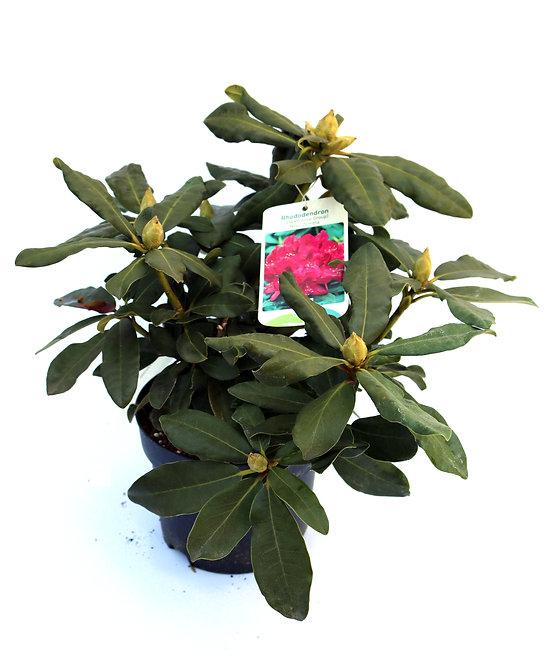 Rhododendron Nova Zembla ø30/40cm