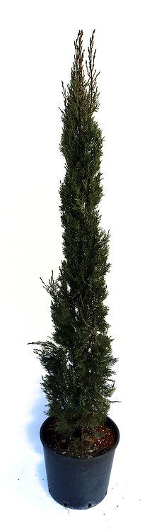 Gardasee Zypresse 120/140cm