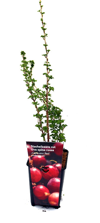 Stachelbeere rot Captivator Red