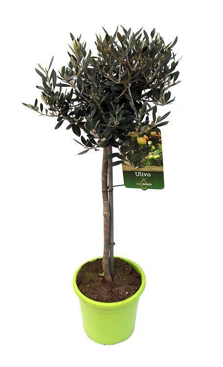 Olivenbaum groß