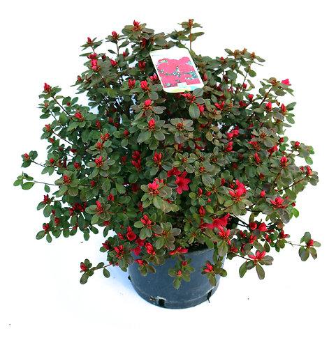 Azalee Rot ø50cm