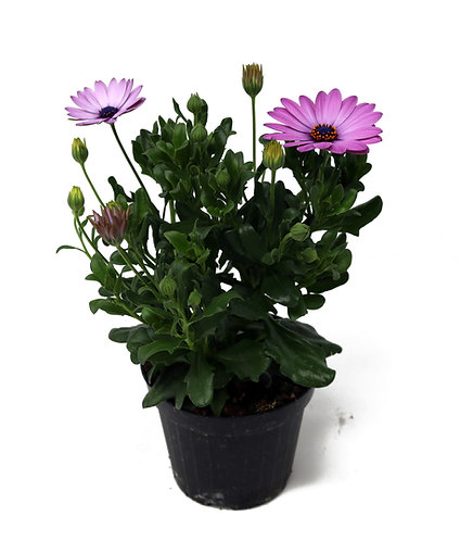 Dimorphoteca lila