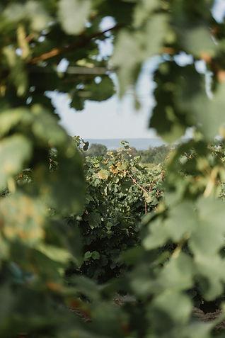 Gilvesy szőlő.jpg