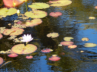 peaceful places lily pond.JPG